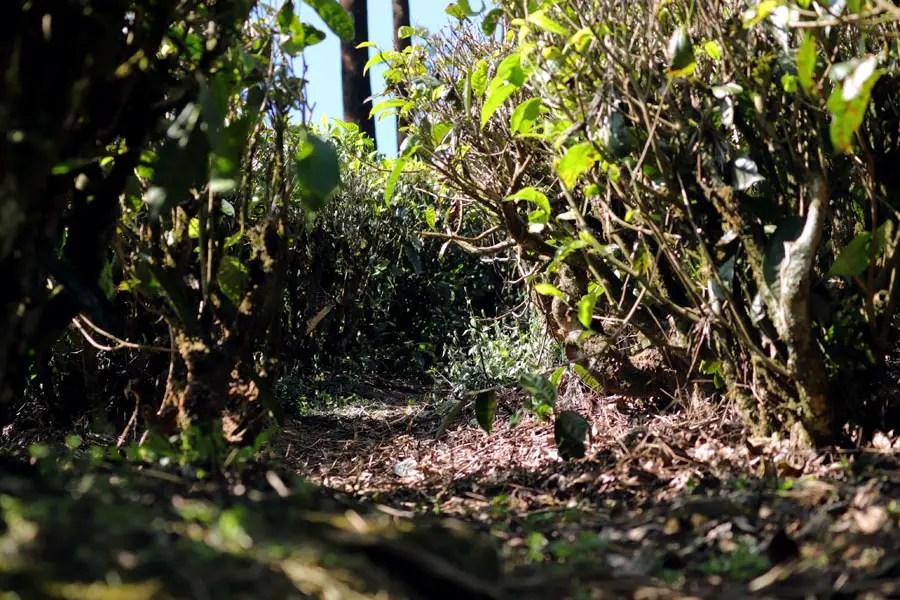 Valparai - Tea bushes POV - In the shadow of elephants in Valparai