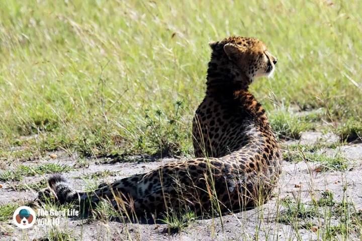Cheetah in Masai Mara - How to plan your Kenya safari from India