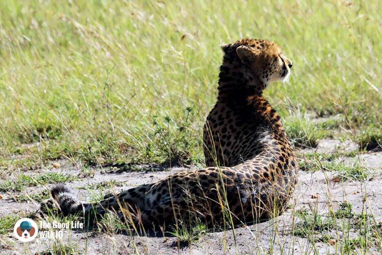 Cheetah in Masai Mara - How to plan your Kenya safari from India