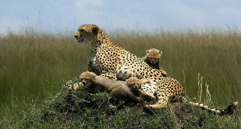 Cheetah with cubs in Masai Mara/Serengeti - Planning your kenya safari from India