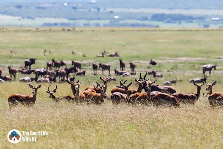 Impala, gazelle and topi on the plains of Masai Mara