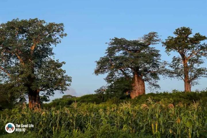 Baobab trees near Malindi