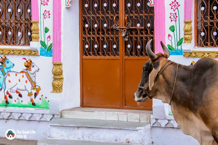 Cows - Udaipur