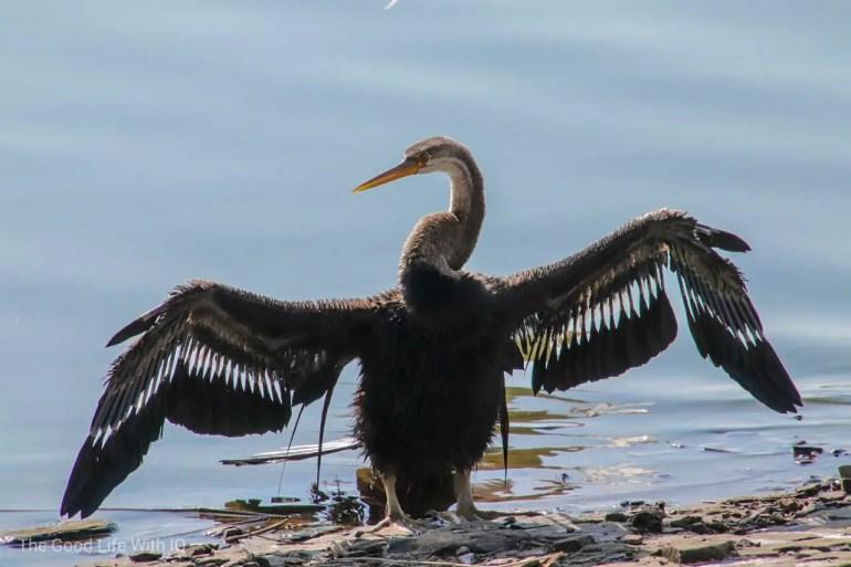 Darter bird, Ranthambhore