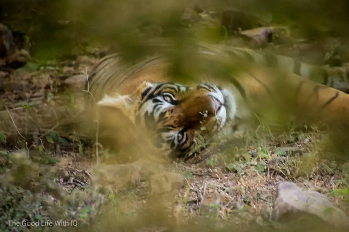 Sleeping tiger - Tamron 18-400 review