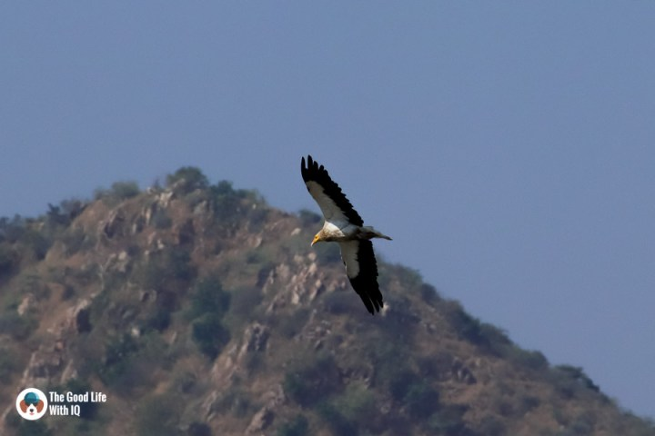 Egyptian vulture - Udaipur