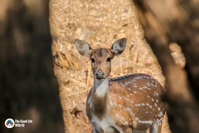 spotted deer - Ranthambhore safari