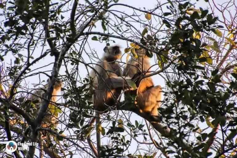 Langurs - Ranthambhore safari