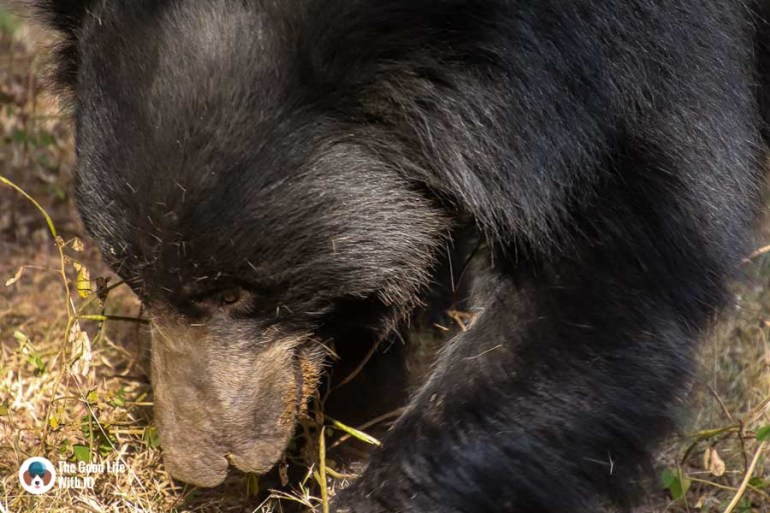 sloth bear - Ranthambhore safari