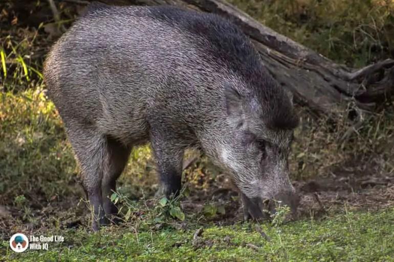 wild boar - Ranthambhore safari