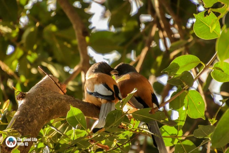 Rufous treepies - Ranthambhore safari