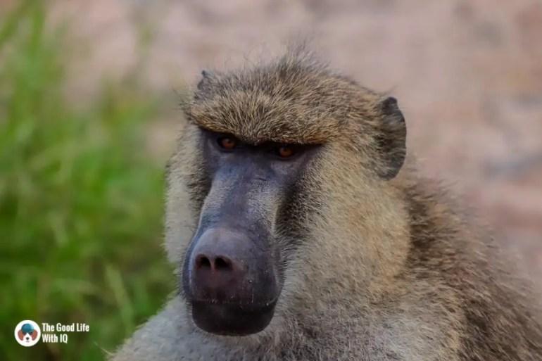 Kenya safari - Amboseli - Baboon