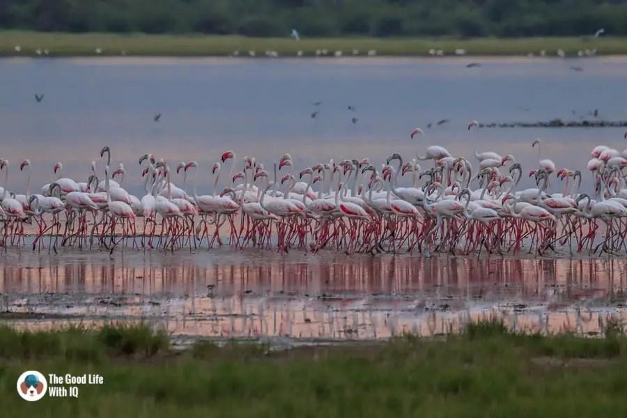 Kenya safari - Amboseli - Flamingos