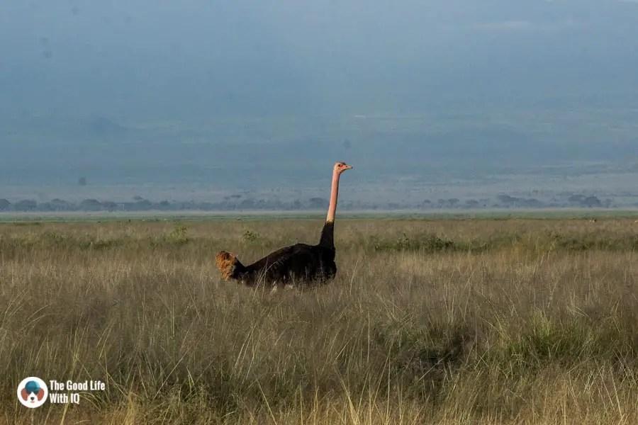 Kenya safari - Amboseli - Ostrich