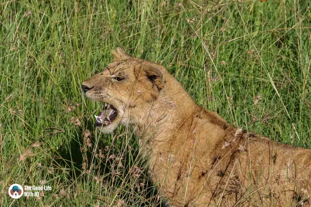 Kenya safari - Masai Mara - Lion cub