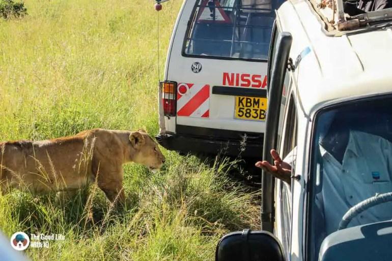 Kenya safari - Masai Mara - Lioness and safari vehicles