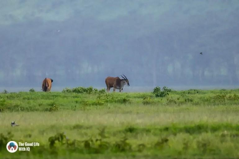 Kenya safari - Nakuru - Eland