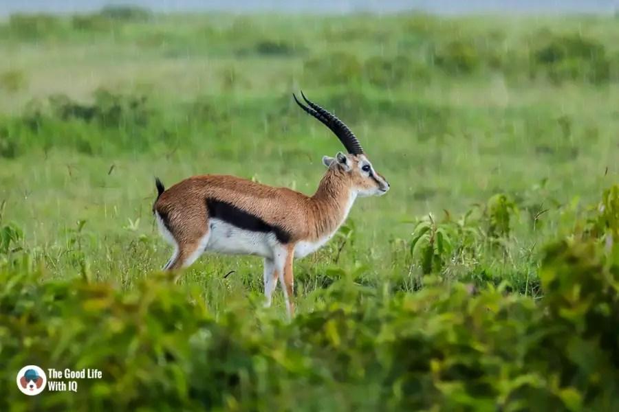 Kenya safari - Nakuru - Thompson's gazelle