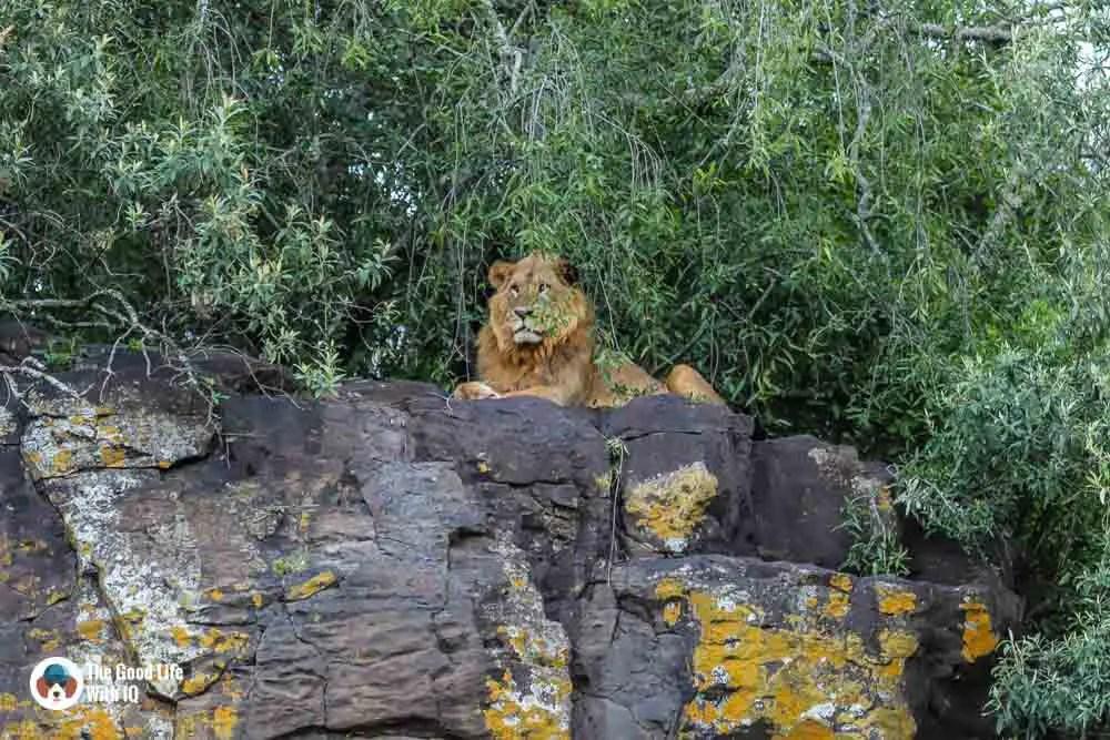 Kenya safari - Nakuru - Lion on rock