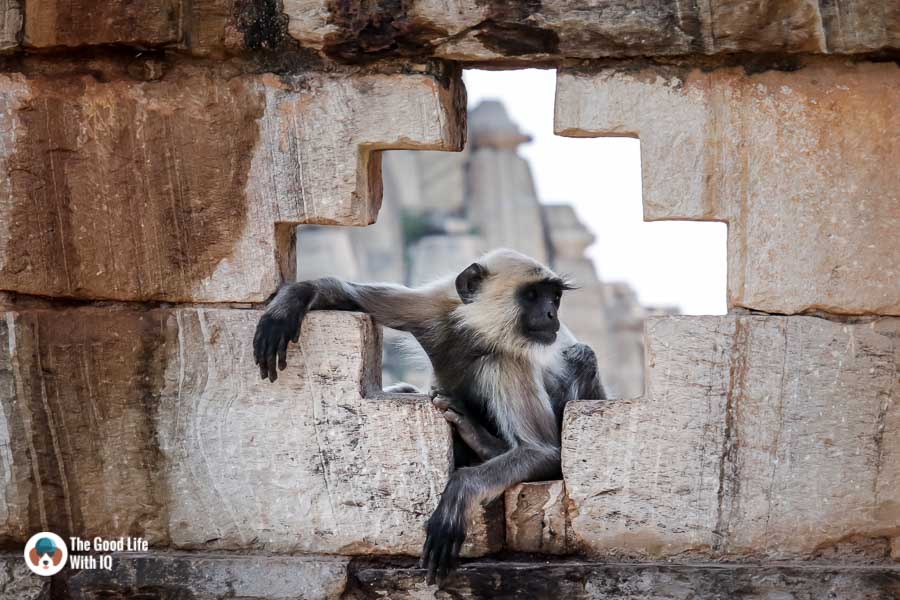 Chittorgarh Fort - Langur at Samadhushvara temple