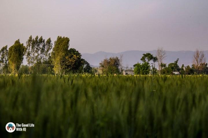 Wheat fields in Punjab