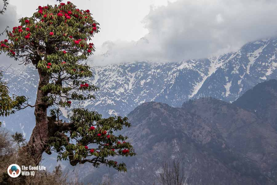 Rhododendron and mountains, Naddi