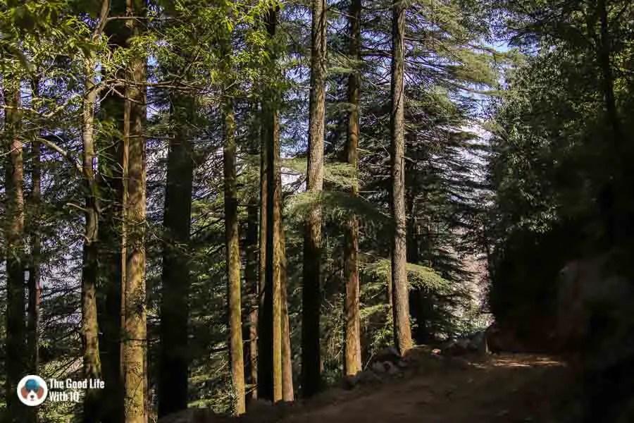 Pine forest, Naddi