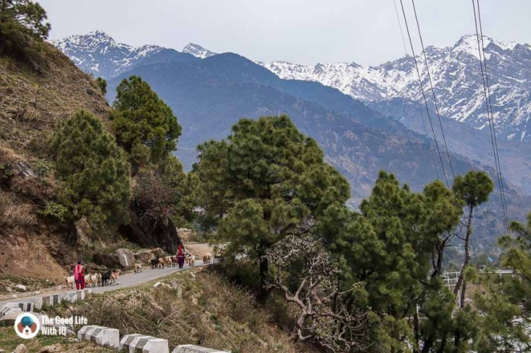 Goatherds in Palampur