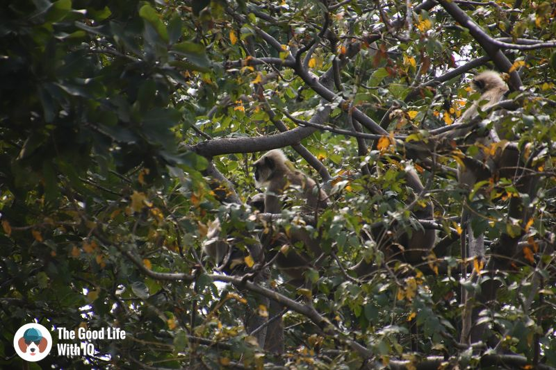 grey langurs at blackbuck resort - weekend motorbike ride to bidar