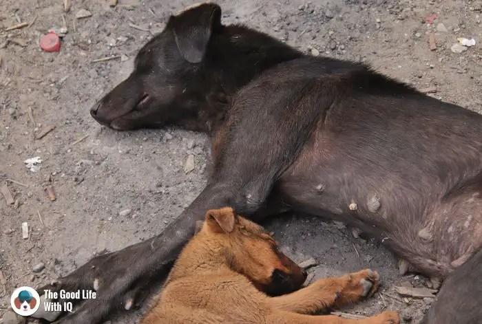 Doggies in Palampur