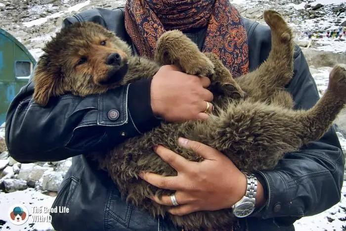 Doggie at Changla pass