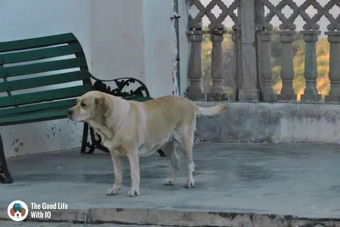 Udaipur - Cute doggies we've met on our travels