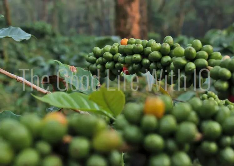 Unripe coffee berries in Coorg