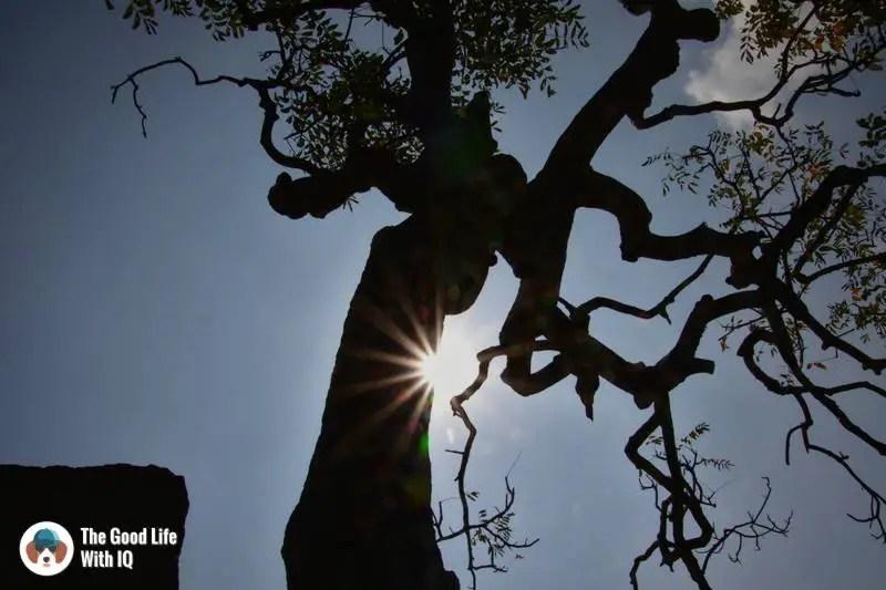 Gnarled neem tree, Mahabalipuram