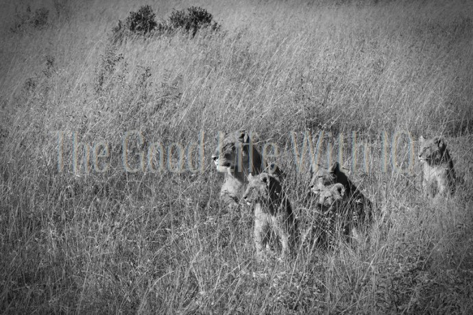 Lioness and cubs in the tall grass in Masai Mara, Kenya