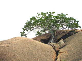 A hardy banyan tree grows in an unlikely crevice