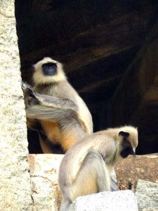 Grey langur monkeys go about their business