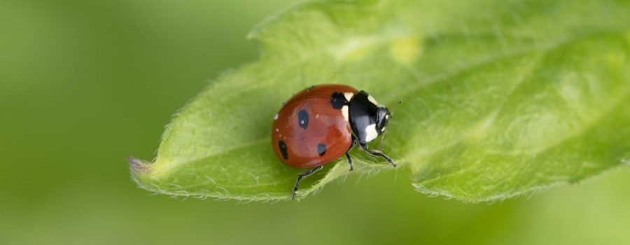 The Ladybug Spirit Of Symbols: A Complete Guide Of Meaning