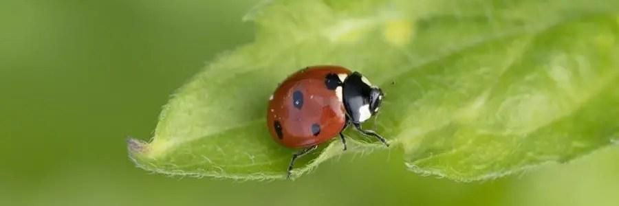 Ladybug Spirit Symbols