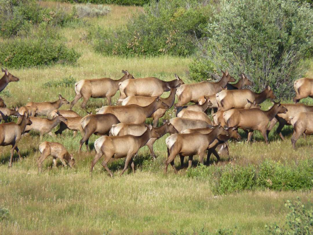 elk yellowstone national park