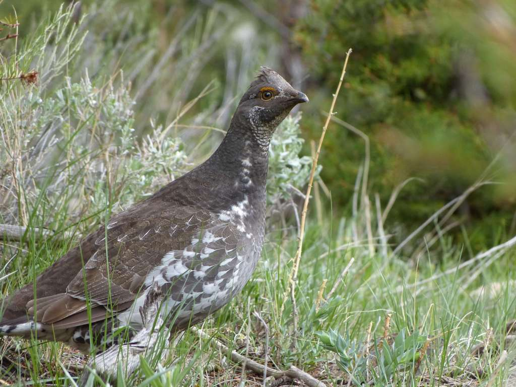Dusky Grouse along Beaver Ponds