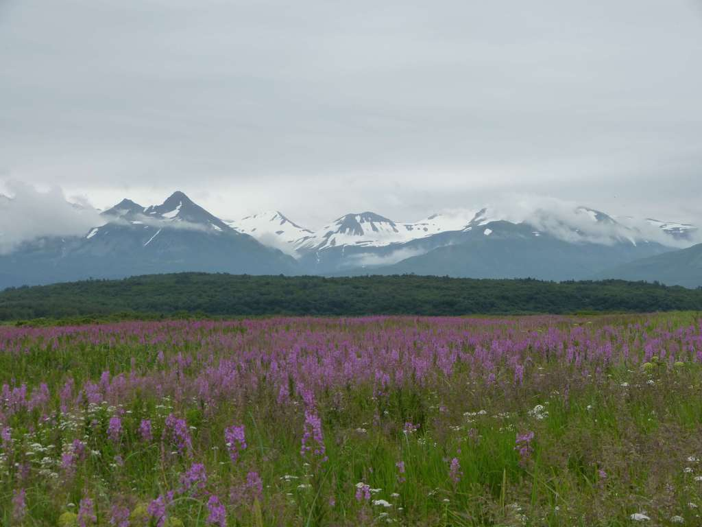 wildflowers mountains katmai Hallo