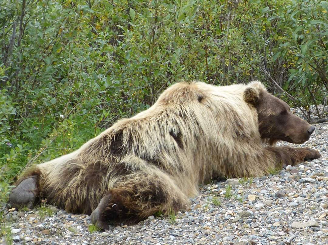 Grizzly Bear Denali National Park