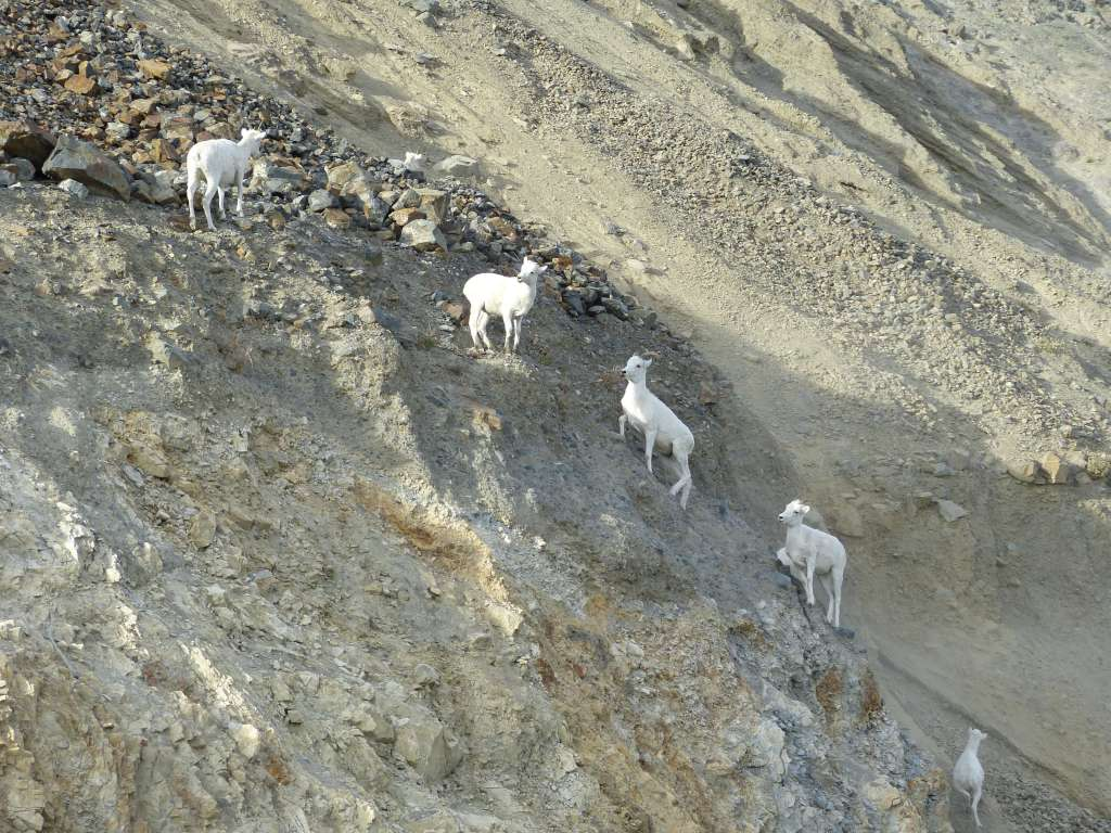 Dall Sheep Kluane