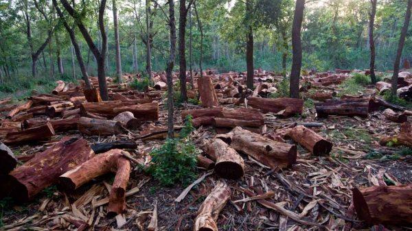 Penebangan dan pembakaran hutan