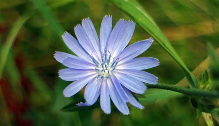 Gambar Bunga Chicory