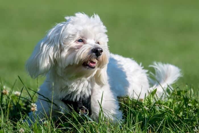 Jenis Anjing Bichon Havanais