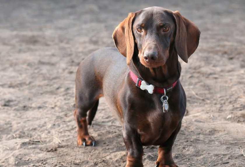 Jenis Anjing Dachshund