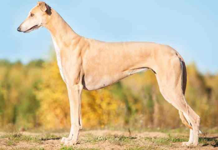 Jenis Anjing Greyhound