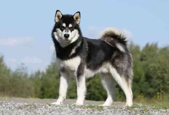Jenis Anjing Malamut Alaska